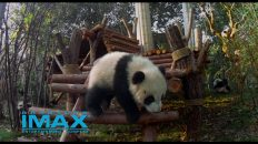 Giant Panda on a wooden structure
